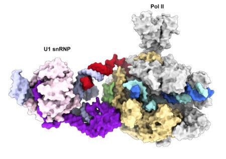 Cryo-EM structure of the transcribing Pol II-U1 snRNP complex