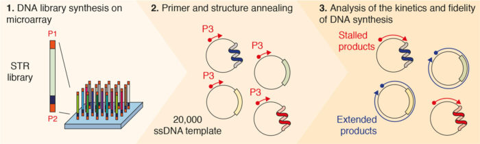 A high throughput assay to monitor DNA synthesis through a large number of repeat sequences in parallel.