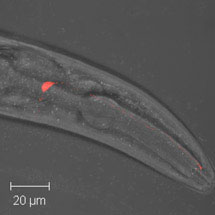 Salt Chemosensation in worms