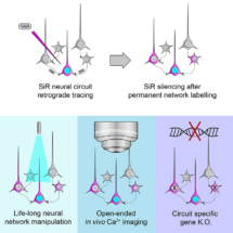 Diagram to show how use of SiR allows permanent labelling, manipulation and genetic alterations of neural networks