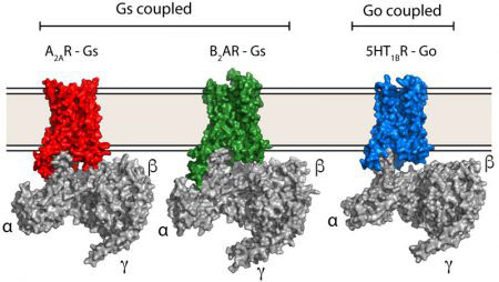 Comparison of GS and GO GPCR-G protein complexes
