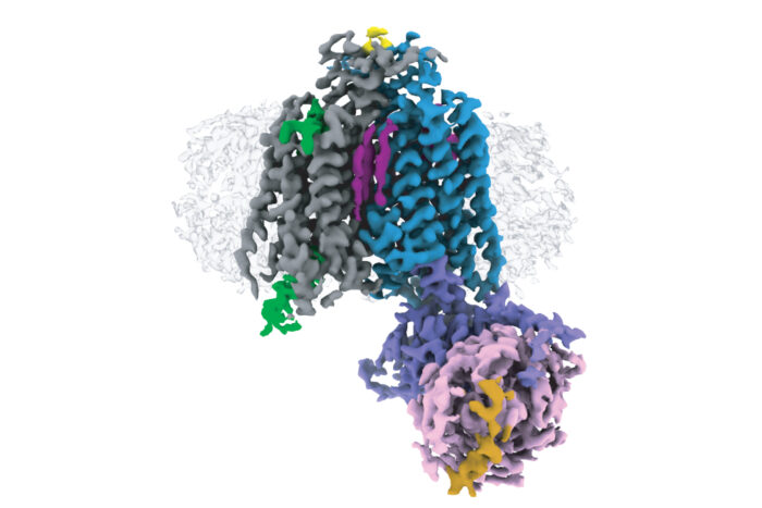 First structure of a class D GPCR dimer coupled to two G proteins