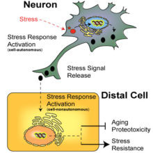 Taylor - A general model for inter-tissue stress response signalling