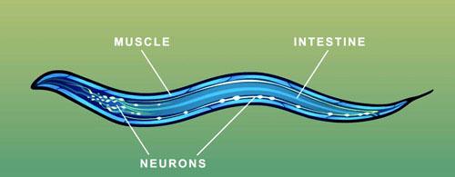 Taylor - C. elegans tissues