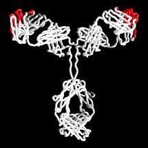 Therapeutic Antibody