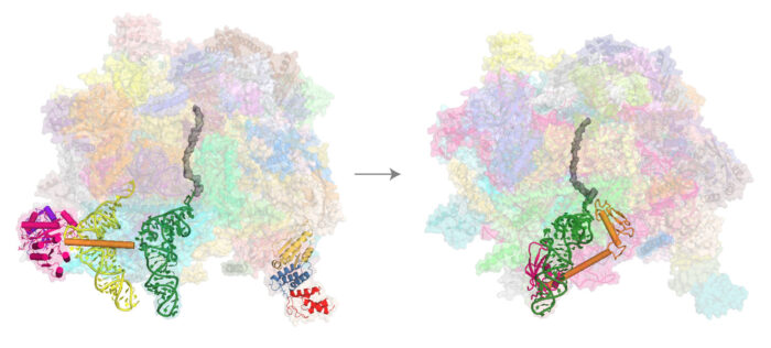 Structures of the human mitoribosomal large subunit undergoing co-translational rescue.