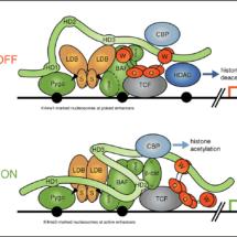 Refined model of Wnt enhanceosome