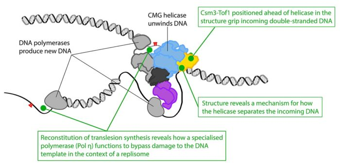 Two recent publications shed insight into how the replisome positions the Fork Protection Complex at the front of the assembly to encounter unwound DNA, conducts unwinding of the two strands of the DNA double helix, and tolerates damage on both strands of the DNA