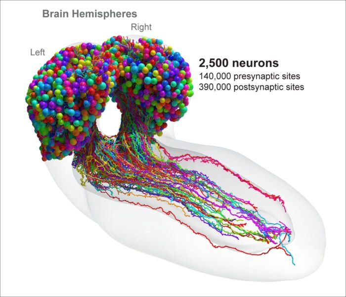 Complete electron microscopy reconstruction and connectivity of all neurons in the Drosophila larval brain.