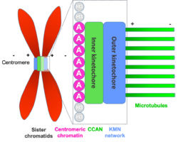 Diagram showing the positioning of the centromere on a chromosome and the organisation of the kinetochore on the centromere, with microtubules attached, ready to direct chromosome segregation