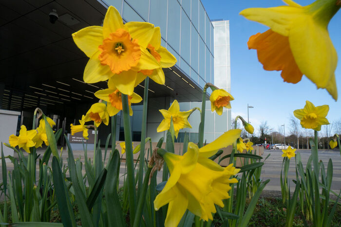 Daffodils outside the LMB