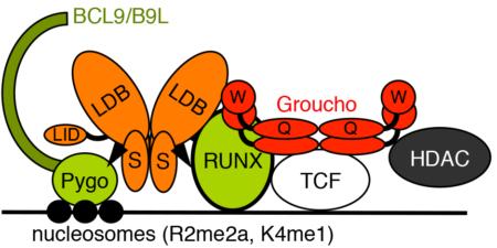 enhanceosome-model