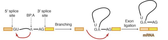 Schematic diagram of pre-mRNA splicing