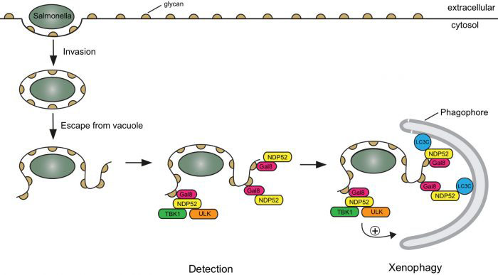 Detection of an invading Salmonella bacterium, leading to phagophore formation and xenophagy