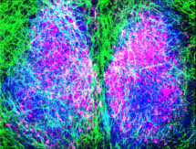 Composite image of astrocytes & neurons of the SCN