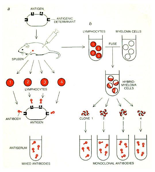 1984 - César Milstein & Georges Köhler - MRC Laboratory of ...