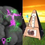 Amalgamation of part of John's Metronome image and part of Greg's fly neuroblast clone brain image