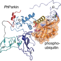 How phosphorylated ubiquitin activates Parkin