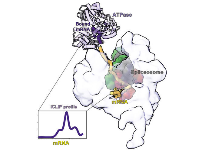 A structural snapshot of a post-catalytic spliceosome bound to mRNA with the psiCLIP binding profile for the ATPase Prp22 mapped onto it. Prp22 is poised to pull from a defined region on the bound mRNA to release it from the spliceosome.