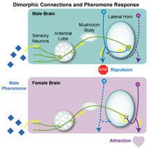 sexual attraction pheromones