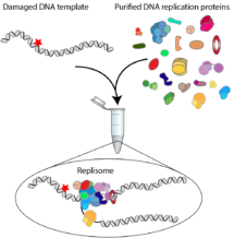 Diagram to illustrate replication of damaged DNA in a test tube